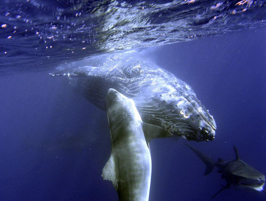 イタチザメの画像 p1_29
